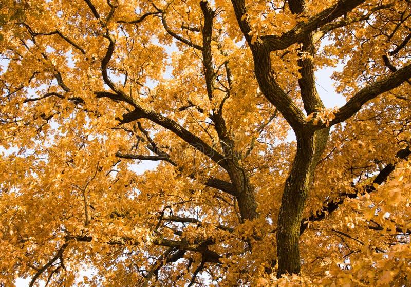 Carvalho Do Outono Imagem de Stock