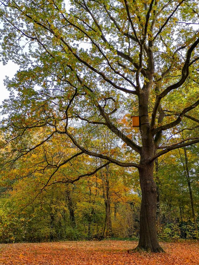 Carvalho grande no parque do outono em Berlim imagens de stock