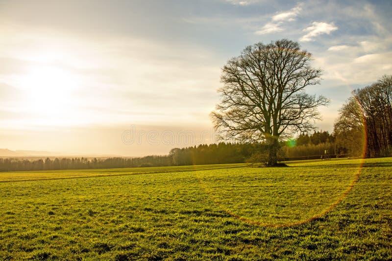 Carvalho no inverno durante o por do sol fotografia de stock