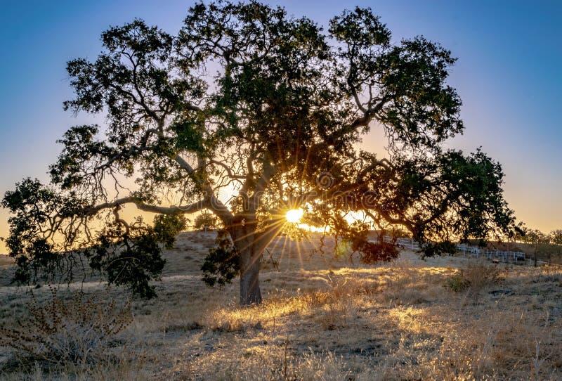 Carvalho nos raios dourados do sol dos montes de Califórnia que brilham através dos ramos de árvore foto de stock royalty free