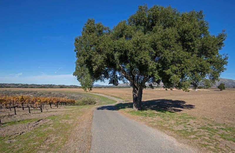 Carvalho passado de Califórnia da estrada através dos vinhedos do blanc de Califórnia sauvignon nos EUA fotos de stock royalty free