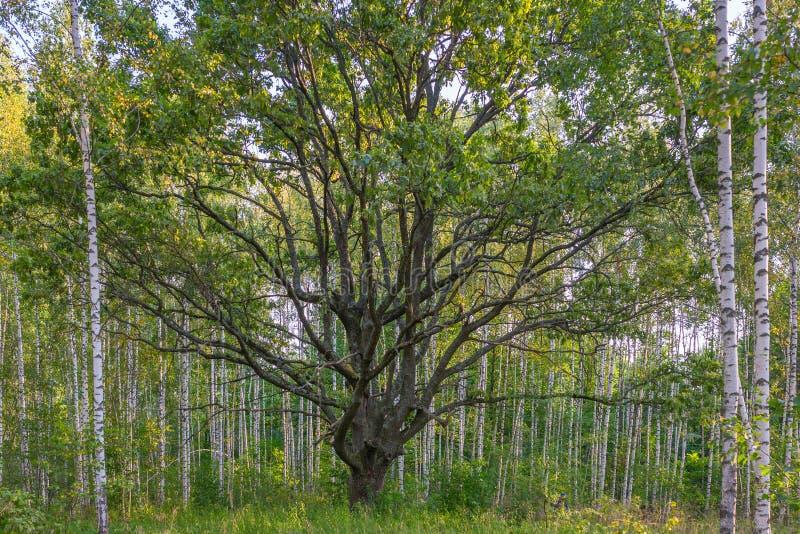 Carvalho velho em árvores de vidoeiro foto de stock