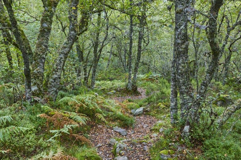 Carvalho velho na reserva da biosfera de Muniellos da floresta asturias fotografia de stock royalty free