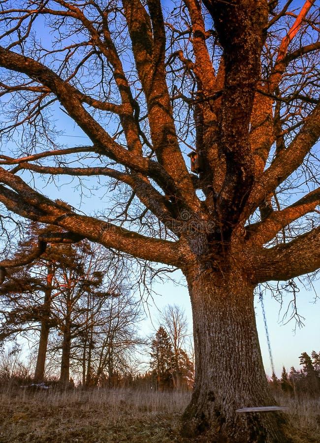 Carvalho velho no por do sol sem folhas com um balanço Autumn Landscape foto de stock royalty free