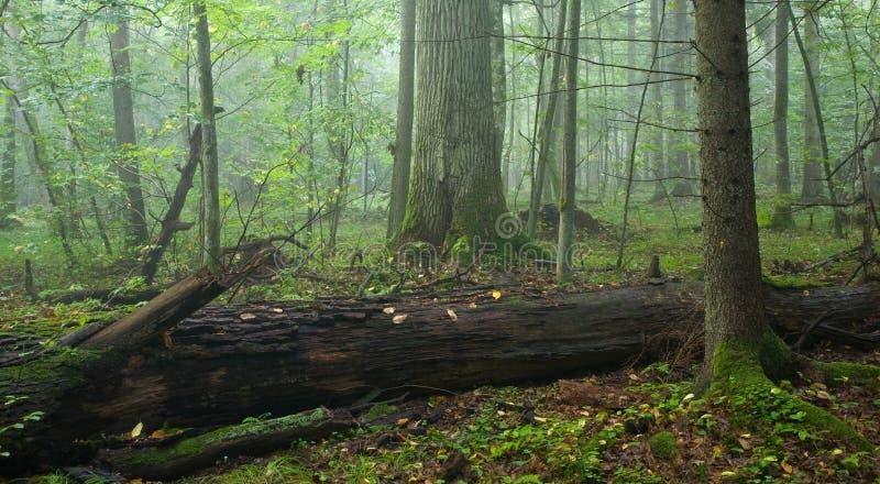 Carvalho velho quebrado na floresta enevoada imagem de stock