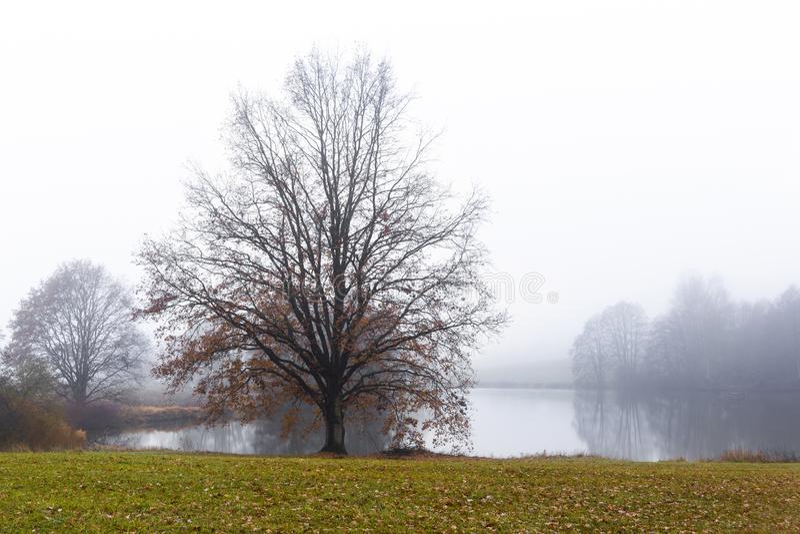 Carvalho velho sobre a superfície da água de um lago quieto na névoa fotografia de stock royalty free