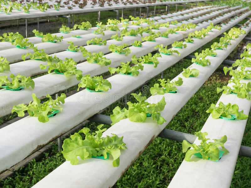 Carvalho verde imagens de stock royalty free