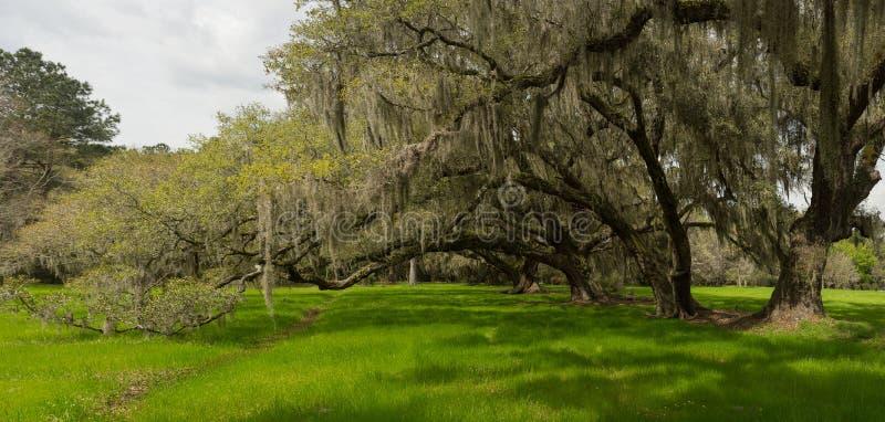 Carvalhos de Charleston imagens de stock royalty free