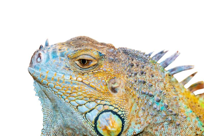 Carved iguana head on a white background. stock image