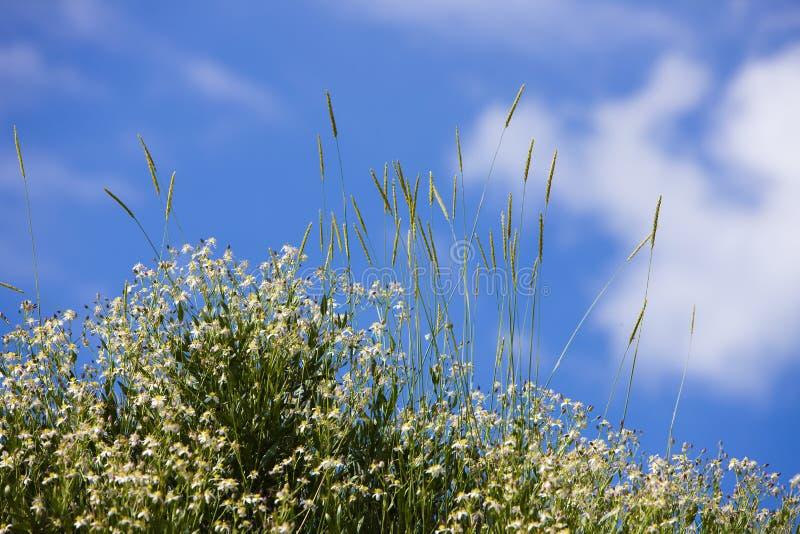 Caryophyllaceae Gypsophila SP Άσπρα λουλούδια Οροπέδιο Assy στο Καζακστάν, Ασία Ju στοκ φωτογραφία