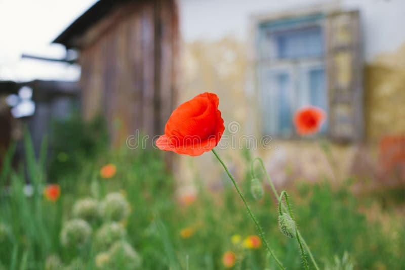 Casa abandonada velha da vila e uma flor vermelha da papoila imagem de stock royalty free