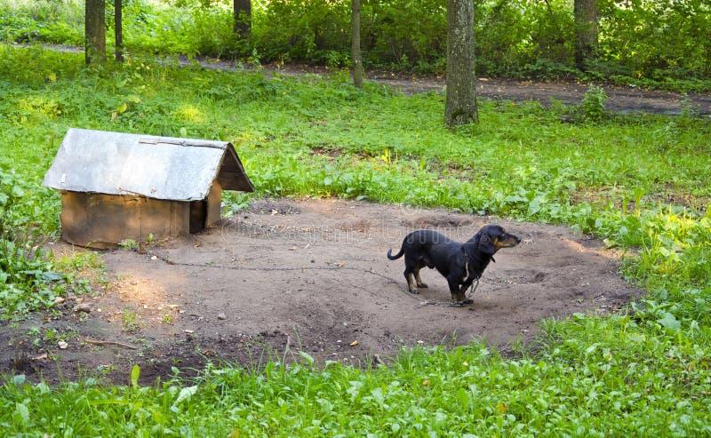 Casa de cão acorrentada salsicha-cão do dachshund do animal de estimação do cão imagem de stock royalty free