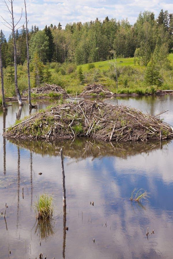 Casa de campo del canadensis del echador del castor en humedales del taiga imagen de archivo libre de regalías