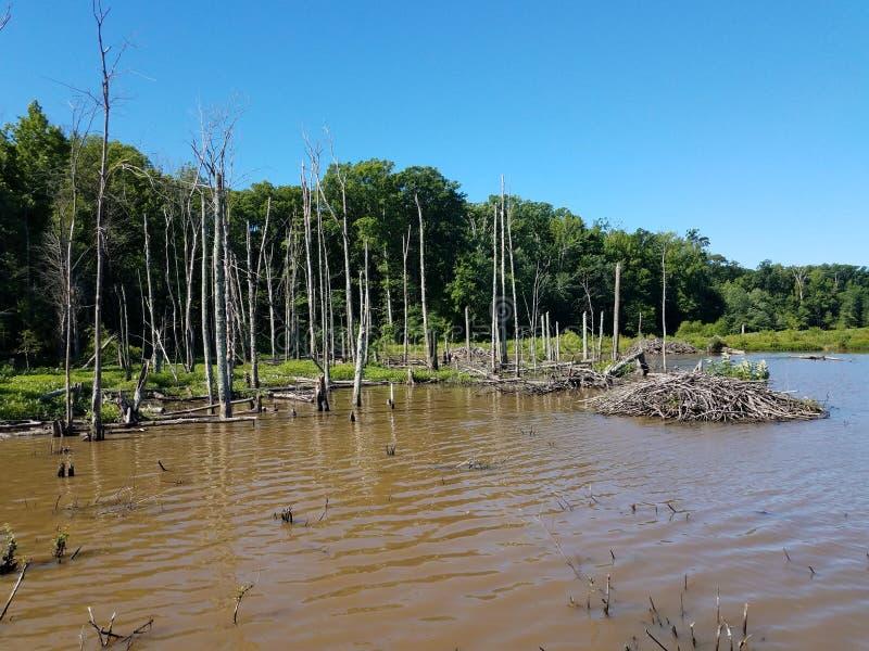 Casa de campo del castor en el lago o la charca con los árboles imagen de archivo