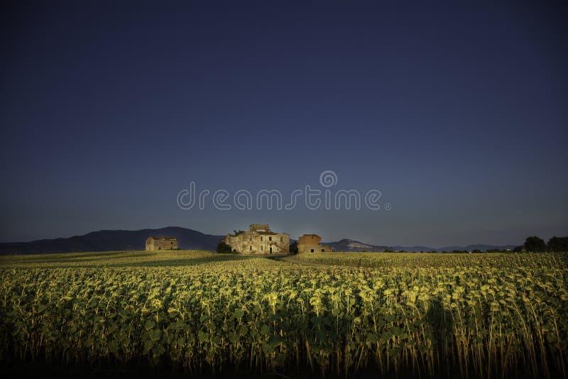 Casa de campo velha no meio de um campo dos girassóis em Toscânia imagem de stock royalty free