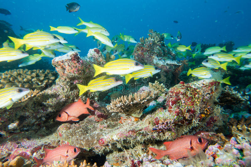 Casa de los corales de Maldivas para la opinión subacuática de los pescados foto de archivo libre de regalías