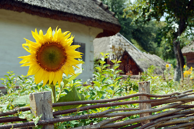 Casa de madera vieja con el girasol imagen de archivo libre de regalías