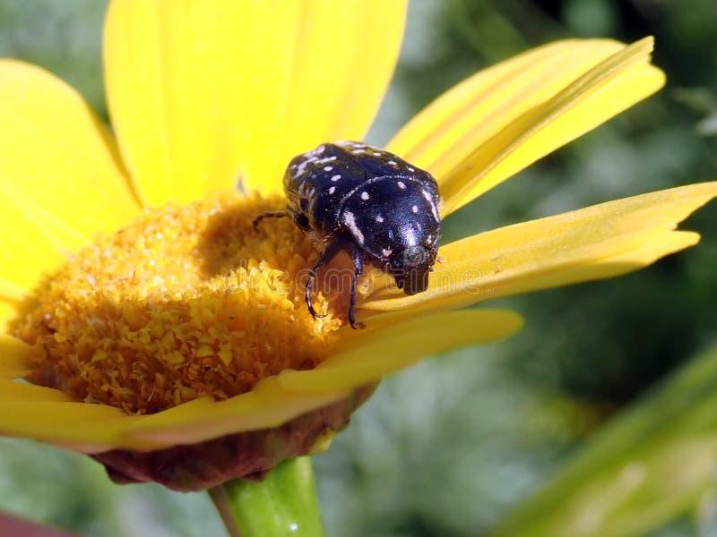 Casa del crisantemo de la flor para los insectos imagen de archivo