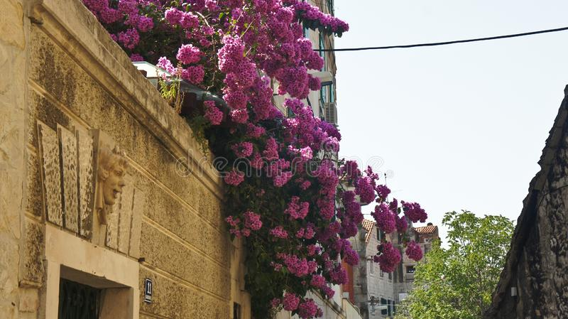 Casa di pietra con l'albero di fioritura nella via di vecchia città, bella architettura, giorno soleggiato, spaccatura, Dalmazia, immagini stock libere da diritti