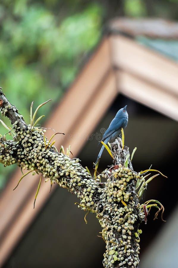 A casa doce da casa, um Drongo de cinza est? empoleirando-se no ramo da ?rvore na frente de uma casa de campo do woodside fotografia de stock