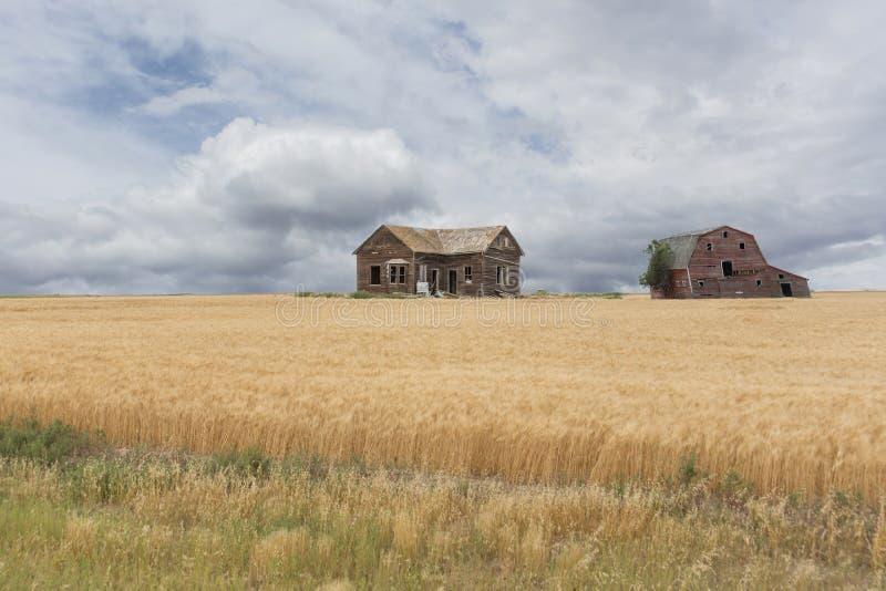 Casa e celeiro abandonados da exploração agrícola em um campo de trigo fotos de stock royalty free