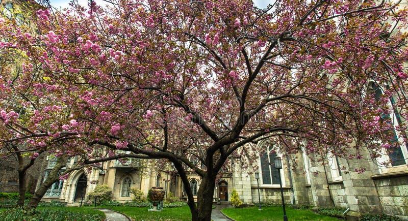 Casa em New York Árvore cor-de-rosa foto de stock