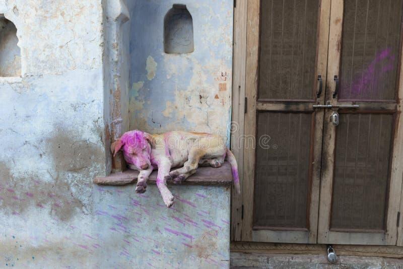Casa exterior do sono do cão perto do templo durante o festival de Holi, Uttar Pradesh do nandgaon, Índia fotografia de stock royalty free