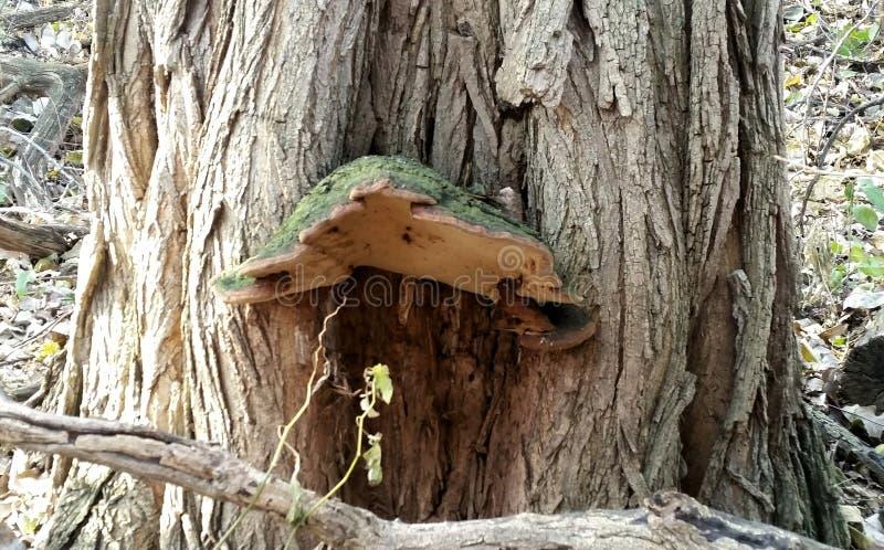 Casa feericamente do cogumelo verde que cresce fora do carvalho fotografia de stock royalty free