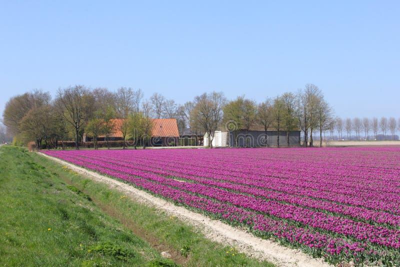 Casa y granja entre los tulipanes en el pólder, Flevolanda, Países Bajos imagen de archivo