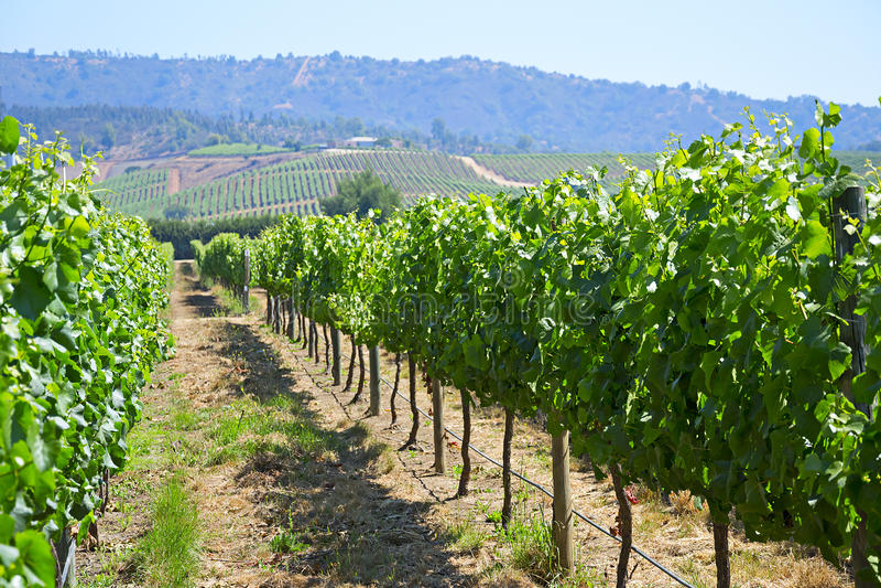 Casablanca valley vineyard stock photo