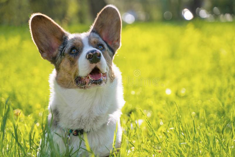 Casaco de lã bonito de galês do pembroke do cão no parque fora imagem de stock