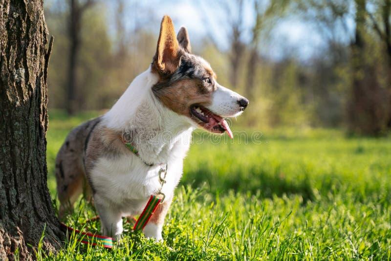Casaco de lã bonito de galês do pembroke do cão no parque fora fotos de stock royalty free
