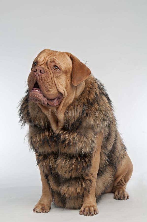 Casaco de pele desgastando do raccoon do cão imagens de stock royalty free