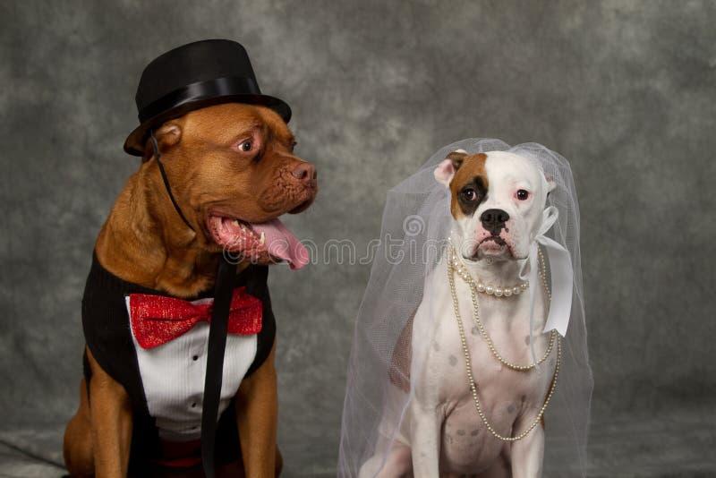 Casamento do dia de cão fotografia de stock