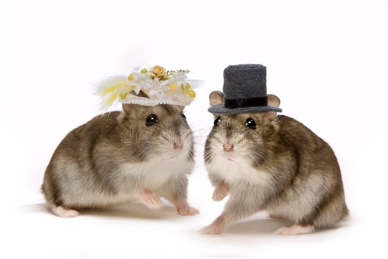 Casamento do hamster fotos de stock