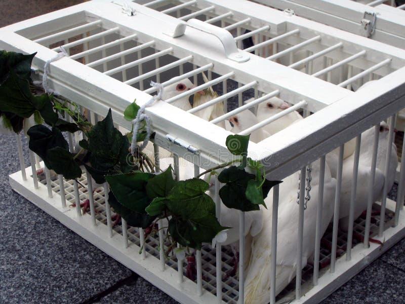 Casamento: pombas brancas que esperam para ser liberado fotos de stock royalty free
