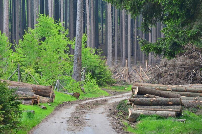 A casca besouro-contaminou ?rvores, madeira pronta para o transporte, Bo?mia sul fotos de stock royalty free