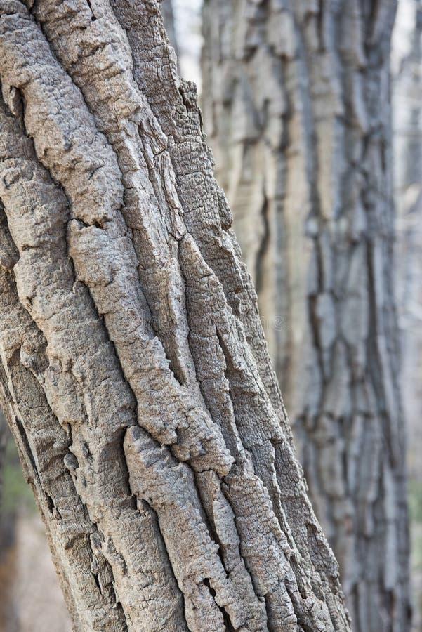 Casca Craggy de um carvalho da castanha fotografia de stock royalty free