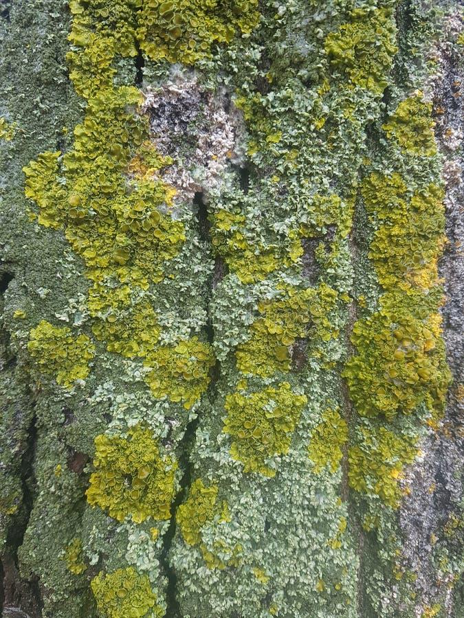 A casca da árvore é coberta com o musgo fotos de stock
