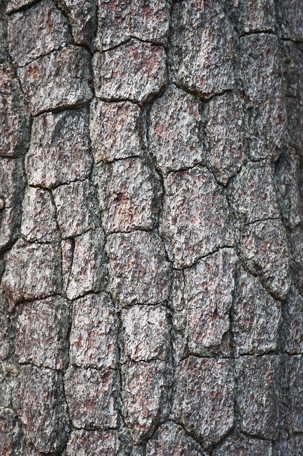 Casca da árvore de pinho imagens de stock