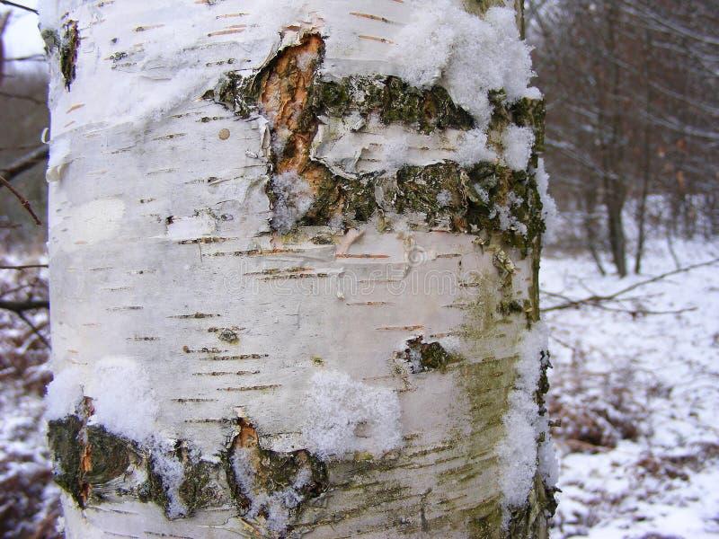 Casca da árvore de vidoeiro no fim da floresta do inverno acima foto de stock