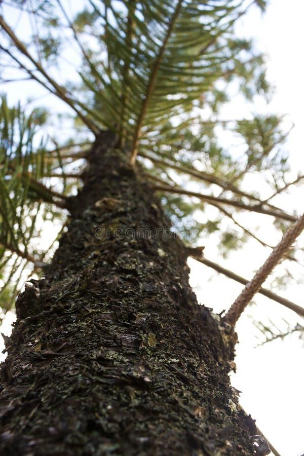 Casca da árvore do pino Parte inferior à vista ascendente imagem de stock royalty free