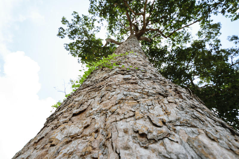 A casca da árvore e olha acima ao céu fotos de stock