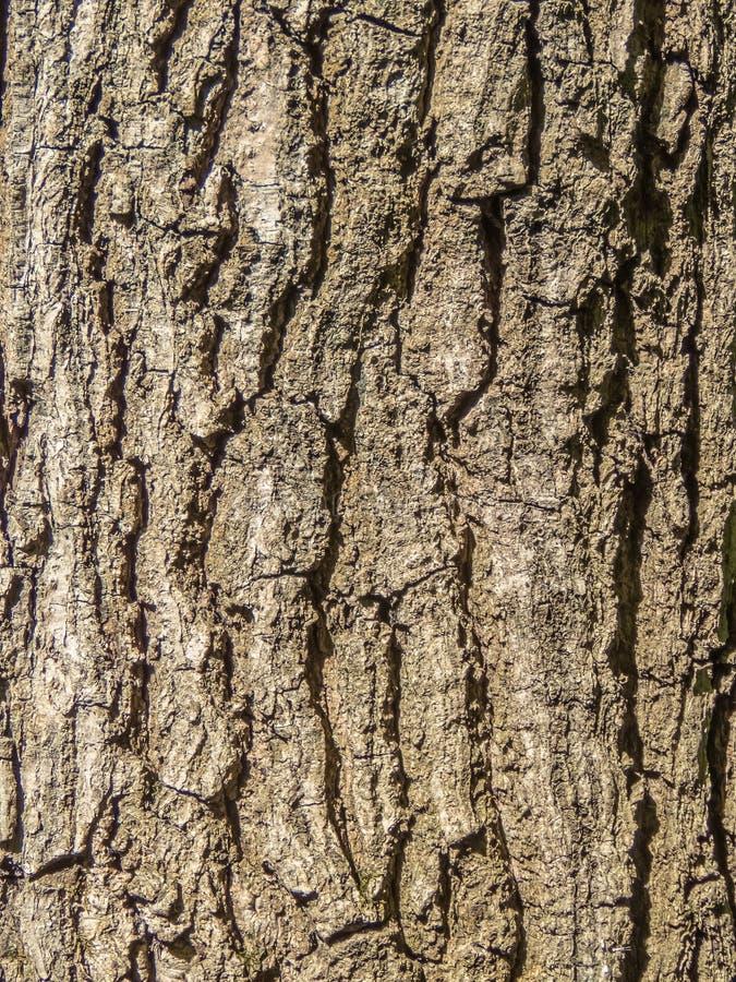 Casca da árvore velha, grande textura, fundo marrom foto de stock