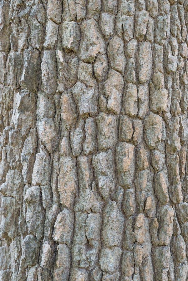 Casca da textura da árvore imagem de stock royalty free