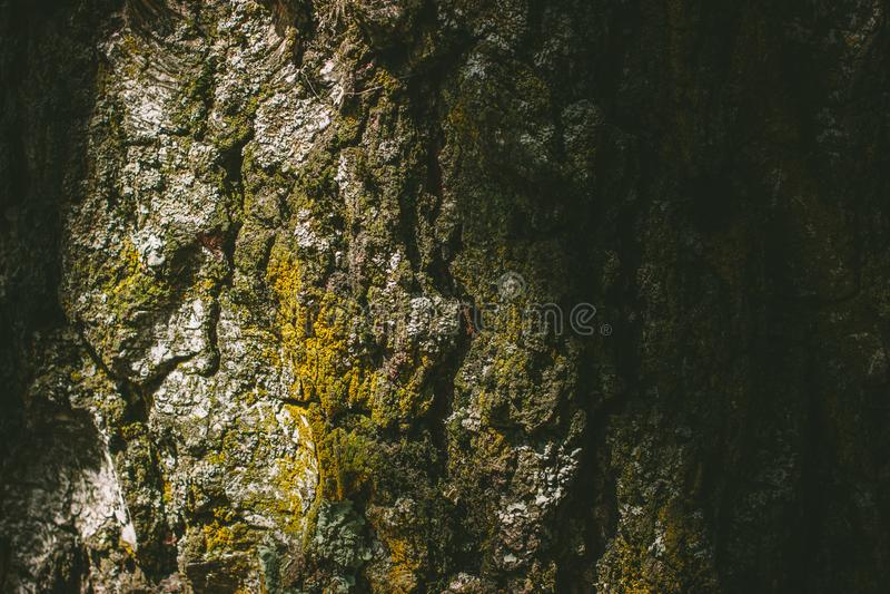 Casca de árvore com o tiro próximo do musgo foto de stock
