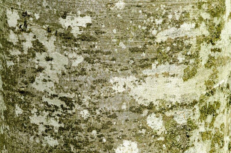 Casca de árvore da faia com teste padrão textured fotos de stock royalty free