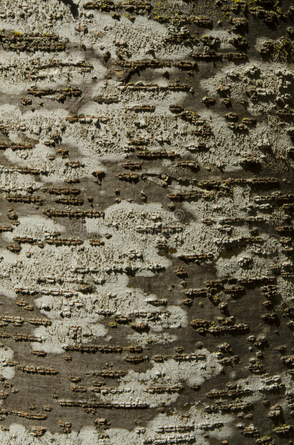 Casca de árvore da faia com textura marrom e branca com musgo verde e imagem de stock royalty free