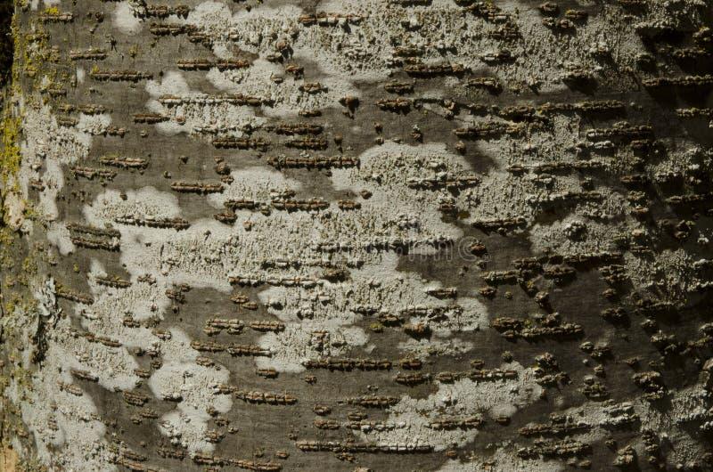 Casca de árvore da faia com textura marrom e branca com musgo verde e foto de stock royalty free