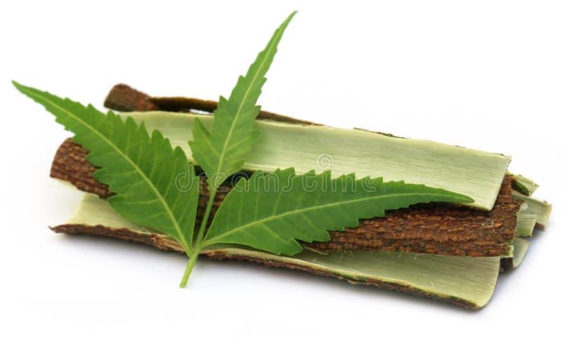 Casca de árvore de Neem medicinal com folhas fotos de stock